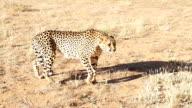 SLO MO LS Leopard In The Savannah