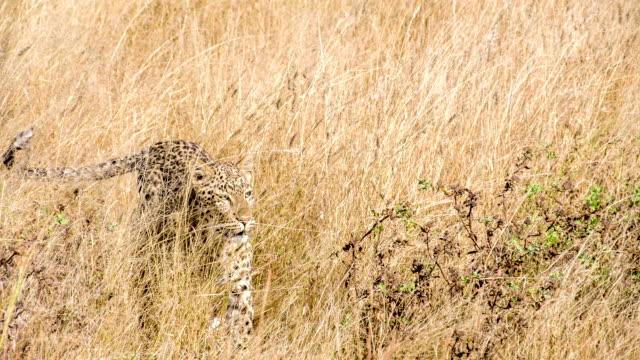 CS ZI Leopard In The Savannah
