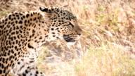 SLOW MO CU Leopard In The Savannah