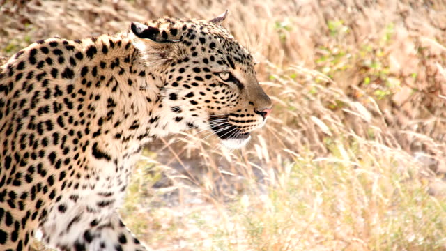 SLOW MO CU Leopard In The Savannah
