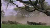 Leopard in tree watches Wildebeest run underneath it, Tanzania Available in HD.