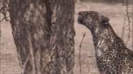 A leopard leaps up into a tree. Available in HD.