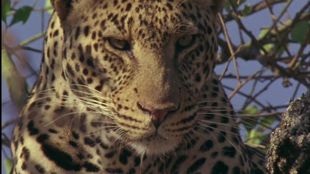 Leopard lies in tree and licks its lips Available in HD.