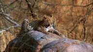 A leopard lies on a rock. Available in HD.