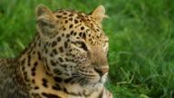 Leopard Looking Around