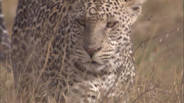 A leopard looks for prey on the grassy savanna. Available in HD.