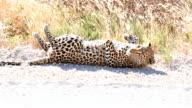 SLOW MO LS Leopard Lying On A Roadside