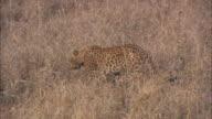 A leopard prowls through grass.