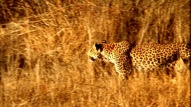 A leopard prowls through long, dry grass. Available in HD.