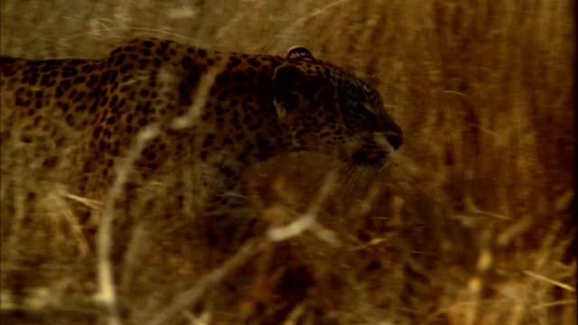 A leopard prowls through long, dry grasses. Available in HD.