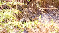 MS Leopard Relaxing In The Grass