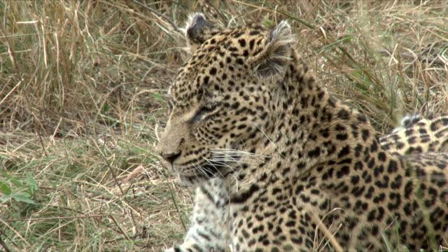 Leopard resting in grass/ Kruger National Park/ South Africa