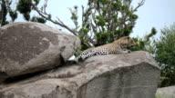 Leopard Resting in Tanzania, Africa