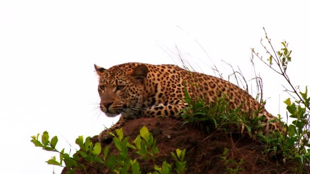 Leopard resting on termite mound/ Kruger National Park/ South Africa