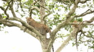 Leopard resting on tree with cub