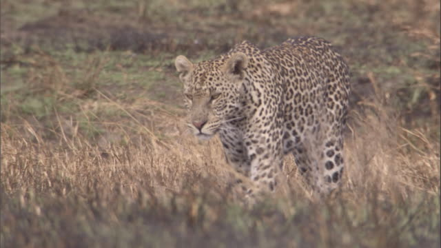 A leopard searches for prey among the tall grasses of the savanna. Available in HD.