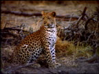 Leopard sits near dry bush land, Botswana