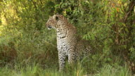 MS Leopard sitting in grass and looking around / National Park, Africa, Kenya