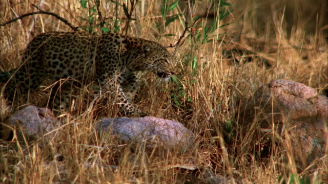 A leopard sneaks through the grasslands of Africa hunting for it's prey. Available in HD.