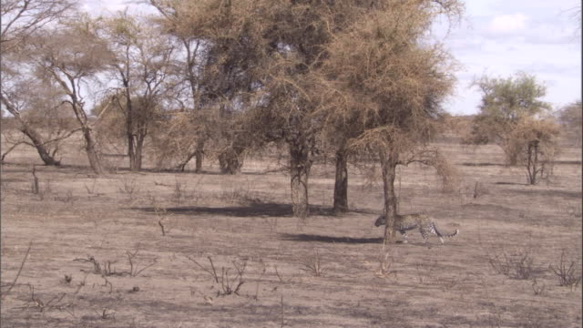 A leopard stalks past trees on the arid savanna. Available in HD.