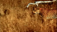 A leopard stalks through long, dry grass. Available in HD.