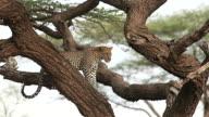 MS Leopard standing on tree / National Park, Africa, Kenya