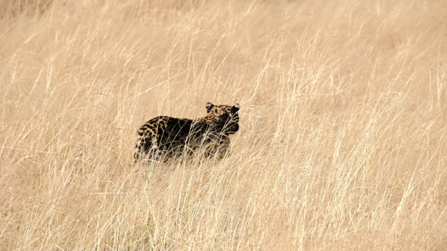 SLOW MO LS Leopard Walking In High Grass