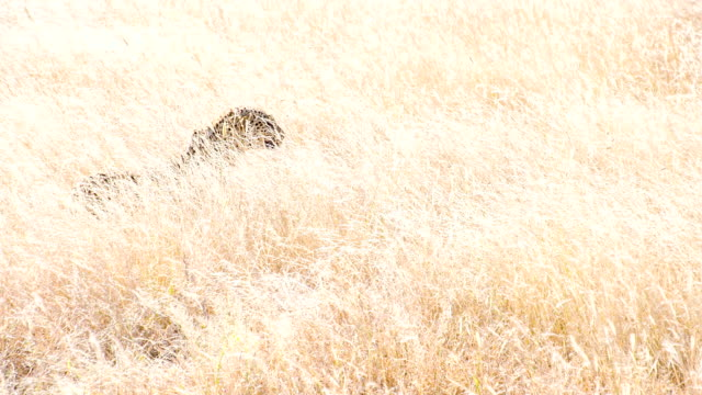 LS TS Leopard Walking In High Grass