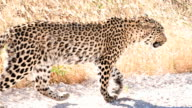 SLOW MO LS Leopard Walking In Savannah