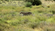 Leopard walking in the grass, Kgalagadi Transfrontier Park, South Africa