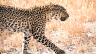 SLOW MO MS Leopard Walking In The Grass