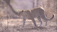 A leopard walks through brush in the Serengeti. Available in HD.