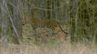 A leopard walks through tall grass in the forest.