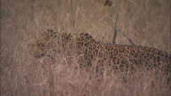 A leopard yawns while resting in brush.