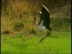 Lesser Adjutant (Leptoptilos javanicus) stork using wings as shade whilst hunting, Bandhavgarh National Park, India