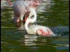 Lesser flamingo dunks and bathes in lake, Kenya