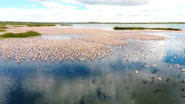 Violetter Flamingos auf einem See in der Nähe von Kimberley Südafrika