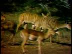 Lesser Kudu approaching a waterhole