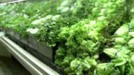 KDAF Lettuce In Produce Department on June 02 2011 in Dallas Texas