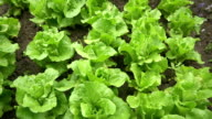 HD DOLLY: Lettuces In The Garden