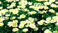 HD: Leucanthemum paludosum Glück im wind (video