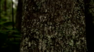 Lichen and Spanish moss cling to trees in a forest. Available in HD.