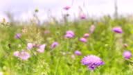 Fliederfarbene Blumen auf einer Wiese