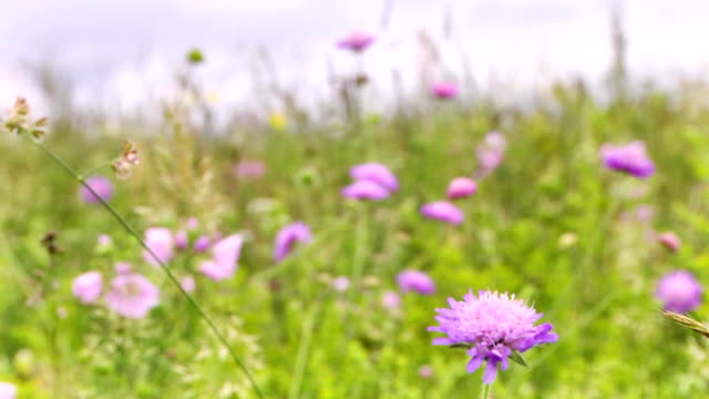 Lilac flowers on a meadow