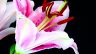 Lilium blooming HD