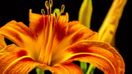 Lily Blume