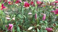 lily flowers blooming, pan shot