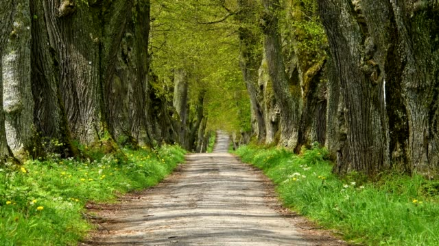 Lime tree alley in early spring, Allgau, Bavaria, Germany