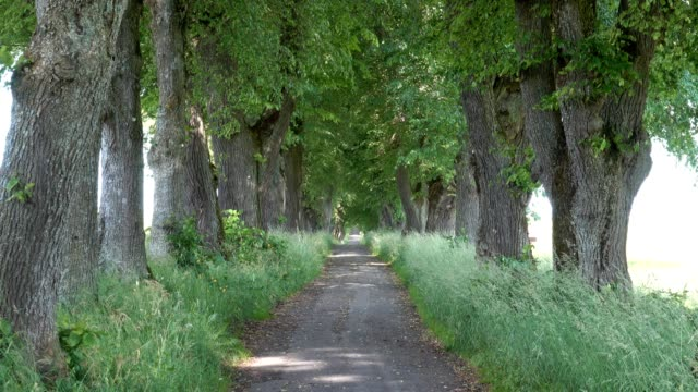 Lime tree avenue in summer, Marktoberdorf, Allgau, Bavaria, Germany