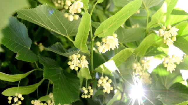 Linden flowers